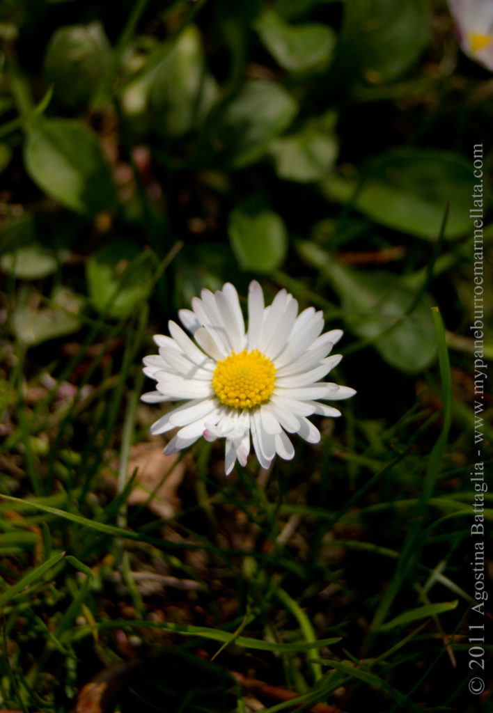 una margherita fa primavera