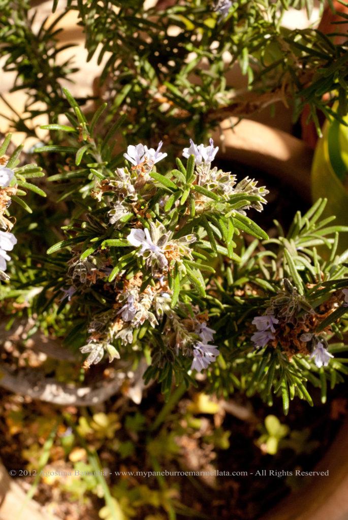 fiori di rosmarino